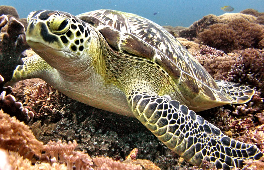 Turtle diving on Gili Air