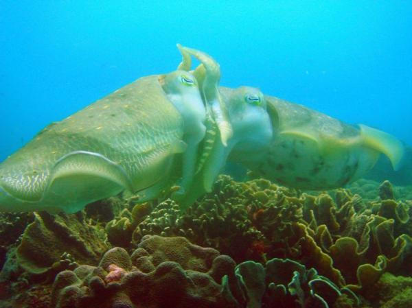 cuttlefish-mating-gili-air